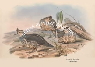 CALLIPEPLA SQUAMATA - Scaly Partridge